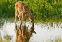 doe a deer...in memory of Dick / such beautiful animals...such gentle eyes... / by Kim Teigen