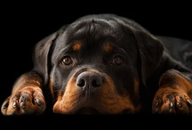 Mom's Best Friend / On the 8th day, God created Rottweilers  / by Wendi Shier