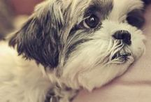 Love my Shih Tzu ♥ / I DO NOT OWN ANY OF THESE IMAGES. IN EVERY CASE WHERE IT IS POSSIBLE, I HAVE LINKED BACK TO THE ORIGINAL OWNER. / by Theresa