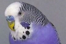 Normal Budgies / Budgies belonging to the Normal variety and composites that include Normals. For a description of this variety see http://www.budgie-info.com/normal-budgie.html