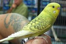 Spangle Budgies / Budgies of the Spangle variety and composites that include Spangle. For a description of this variety see http://www.budgie-info.com/spangle-budgie.html