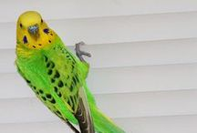 Opaline Budgies / Budgies of the Spangle variety and composites that include Spangle. For a description of this variety see http://www.budgie-info.com/opaline-budgie.html