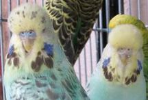 Cinnamon Budgies / Budgies belonging to the Cinnamon variety and composites that include Cinnamon. For a description of this variety see http://www.budgie-info.com/cinnamon-budgie.html