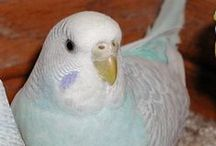 Dilute Budgies / Budgies belonging to the dilute varieties - Greywing, Clearwing and Dilute - and composites that include them. For a description and more information on these varieties see http://www.budgie-info.com/budgie-varieties-with-grey-markings.html