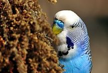 Budgie Diet / All things that budgies love to eat, or perhaps don't love but should be encouraged to eat! For more information on budgie diets take a look at http://www.budgie-info.com/budgie-diet.html