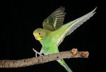 Budgies in Flight / Images of budgies flying, showing their beauty and elegance in a way we just can't appreciate when watching them fly.
