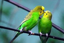 Light Green Budgies / Light Green budgies - budgies that have the Light Green body colour, this is the basic wild type colour with no Dark genes present.  Read more about budgie colours at http://www.budgie-info.com/budgie-colors.html