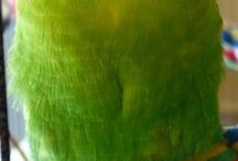 Dark Green Budgies / Dark Green budgies - budgies that have the Dark Green body colour, this is the basic wild type Light Green colour with one Dark gene present.  Read more about budgie colours at http://www.budgie-info.com/budgie-colors.html