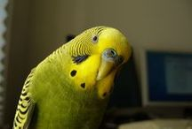 Olive Budgies / Olive budgies - budgies that have the Olive body colour, this is the basic wild type Light Green colour with two Dark gene present.  Read more about budgie colours at http://www.budgie-info.com/budgie-colors.html