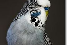 Grey Budgies / Grey budgies - budgies that have the Grey body colour. This is one of the three blue body colours with the Grey gene present.  Read more about budgie colours at http://www.budgie-info.com/budgie-colors.html