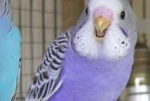 Violet Budgies / Violet budgies - budgies with a violet body colour. These are blue budgies with one or two Violet genes.