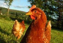 Around the Coop / Chickens!