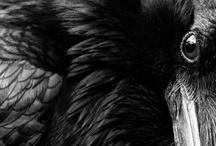 Corvus corax (Raven) / by Renee Lascala