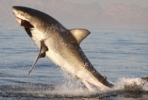 Jaws 2013 / I love sharks! I feel they are misunderstood and I don't think there would be as many shark attacks if we humans cut back on commercial fishing and taking away a sharks and other marine animals food supply.... / by Trece Allison