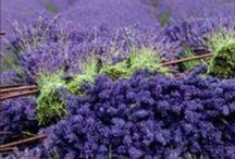 LAVENDER LIFE / herbs