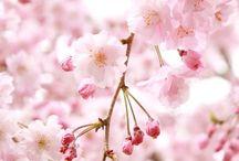 • Sakura tree •  桜