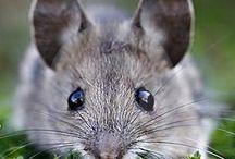 Mäuse / Mice / Souris