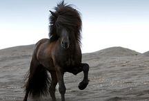 Islandpferde / Icelandhorses