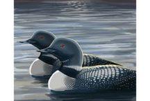 Animals - Birds: Loons / #loon