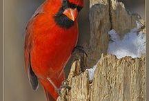 Animals - Birds: Cardinals & Co. / #cardinal