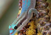 Animals - Reptiles: Lizzards & Geckos / #Lizzards #gecko #reptiles
