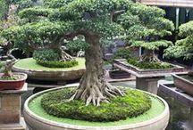 Outdoors - Bonsai / #bonsai