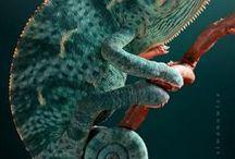 Animals - Reptiles: Chameleons / #chameleon