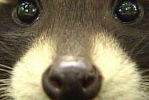 Animals - Mammals: Raccoons, Skunks & Co. / #Raccoons