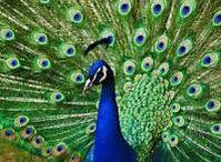 Animals - Birds: Peacocks, Pheasants & Co. / #peacock #pheasant #quail #groose
