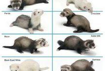 Animals - Mammals: Ferrets, Martens, Weasels, Polecats & Co. / #weasel #polecat #marten #ferret