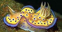 Animals - Nudibranches & Sea Slugs / #nudibranch #seaslug