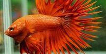 Animals - Fish: Bettas & Co. / #siamesefighterfish #betta #splendens