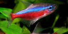 Animals - Fish: Neon Tetras, Tetras & Co. / #neontetra #tetra