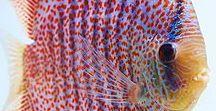 Animals - Fish: Discus & Angelfish & Co. / #angelfish #discus #discusfish #pterophyllumscalare #symphysodondiscus # Cichlidae