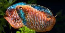 Animals - Fish: Gouramis & Co. / #gourami