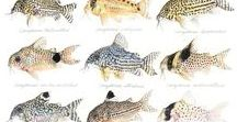 Animals - Fish: Catfish & Co. / #catfish #hypancistrus #coridoras
