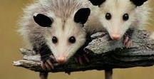 Animals - Mammals: Possums & Co. / #possum
