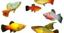 Animals - Fish: Swordtails, Platy & Co. / #platy #swordtail #fish #xiphophorus #poecilia