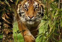 Wild Cats and Animals