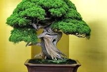 Happy Little Trees / All things related to beautiful Bonsai and Shohin