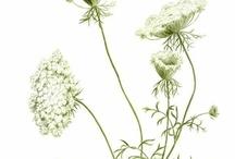 botanical and scientific illustrations / Vintage botanical illustrations, zoological illustrations, plant sketches, flower prints, schematics, astronomy, etc..