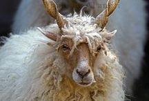 sheep ° peesh ° goats ° staog