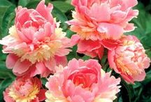 Japanese Tree Peonies / Japanese Tree Peonies are very showy perennial  speciman plants for your garden.Unlike the regular peony,the plant doesn't die back in the winter,has a woody stem,and the blosssom grows as big as a dinner plate! / by Diane Freyer