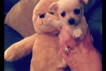 Puppy (-n-Pet) Love ❤myPomchi / Pets....puppies n snakes / by Kristen D'Amico