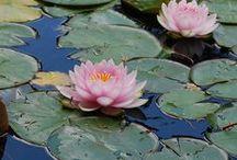 Lotus nenuphar