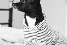 Rescue Dog Alfie / Just a little rescue Chihuahua x from Sydney Australia