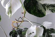 MarijkesGroen / Heb ik eindelijk 2 stekken kunnen bemachtigen van de Monstera Variegata, lukt het niet om wortels te kweken. De luchtwortel verslijmt en de steelpunten worden zwart