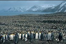 Penguins / I <3 6 PENGUINS! / by Keith Estes