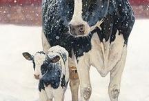 Cow Crazy!!!!! / by 💞 Jami Myatt 💞