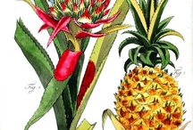 Botanical Illustration prints; free / The place I gather the botanical illustrations I find. There is reason to this board :) The theme is holiday plants, aside from the original beverage plants, to help me decorate the massive mantle.  #botanical #print #illustration / by Monica Wallek